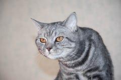 Il ritratto del primo piano del gatto severo e serio arrabbiato grigio che guarda rigorosamente e fa un gobbo fotografie stock