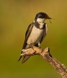 Uccello sul ramo Fotografia Stock Libera da Diritti