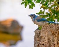 Il ritratto della California sfregare-Jay si è appollaiato su un ceppo di albero nel parco di stato del trione-Annadel in Santa R fotografia stock