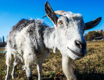 Il ritratto della capra divertente Immagine Stock Libera da Diritti