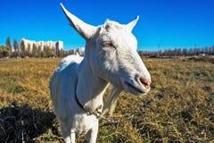 Il ritratto della capra divertente Fotografia Stock