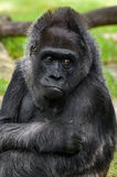 Il ritratto della gorilla Fotografia Stock Libera da Diritti