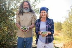 Il ritratto della tenuta felice delle coppie ha raccolto le olive Immagini Stock