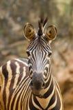 Il ritratto della zebra Fotografia Stock Libera da Diritti