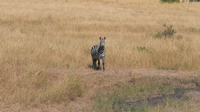 Il ritratto della zebra africana nella savana che esamina la macchina fotografica poi gira la sua testa archivi video