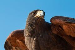 Il ritratto delle grande maschii ha macchiato l'aquila durante la manifestazione di caccia col falcone nel Dubai, UAE Immagini Stock Libere da Diritti