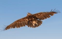 Il ritratto delle grande maschii ha macchiato l'aquila durante la manifestazione di caccia col falcone nel Dubai, UAE Immagine Stock Libera da Diritti