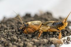 Il ritratto di grande insetto che vive nella terra - gryllotalpa fotografia stock libera da diritti