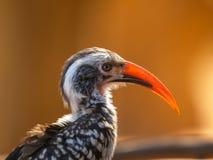 Il ritratto di rosso ha fatturato l'uccello del bucero nel Sudafrica immagini stock libere da diritti