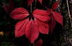 Il ritratto di rosso va su un ceppo di albero Fotografia Stock