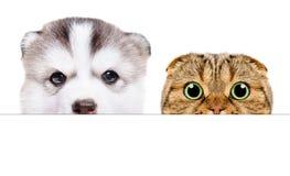 Il ritratto di un cucciolo del husky siberiano e gli Scottish piegano il gatto che dà una occhiata da dietro un'insegna immagine stock