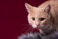Il ritratto di un gatto là è un posto per l'iscrizione immagine stock