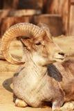 Il ritratto di una capra con i grandi corni Fotografia Stock
