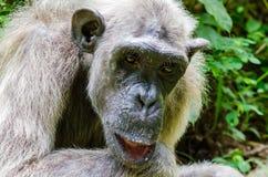 Il ritratto di vecchio scimpanzé bianco con lo sguardo calmo alle montagne di Afi perfora il ranch, Nigeria fotografie stock libere da diritti