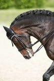 Il ritratto di vista laterale di un cavallo di dressage della baia durante l'addestramento si batte Immagini Stock Libere da Diritti