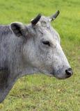 Il ritratto grigio della mucca nel pascolo Immagine Stock