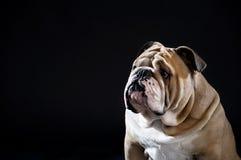 Il ritratto inglese sveglio del bulldog ha isolato Fotografie Stock