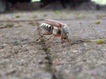 Il rizotrogo Melolonthidae dello scarabeo immagine stock libera da diritti