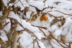 Il Robin europeo (rubecula del Erithacus) Fotografia Stock