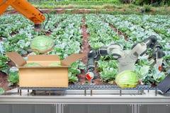 Il robot industriale che era fa domanda per agricolo per funzionare imballando il cavolo messo sulla scatola di cartone tramite n immagini stock libere da diritti