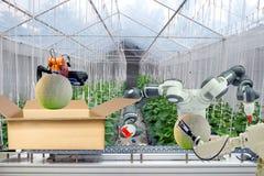 Il robot industriale che era fa domanda per agricolo per funzionare l'esplorazione e l'imballaggio del melone messo sulla scatola fotografie stock