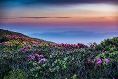 Il rododendro allunga fuori nell'alba Fotografie Stock