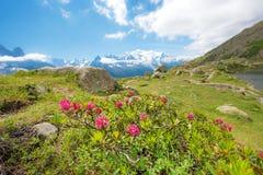 Il rododendro fiorisce contro il contesto di Mont Blanc nella F Immagini Stock