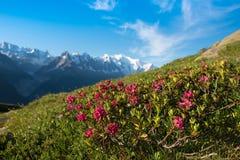 Il rododendro fiorisce contro il contesto di Mont Blanc nella F Fotografia Stock