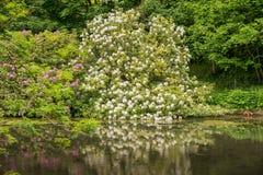 Il rododendro imbussola bianco e rosa e le riflessioni sul lago Fotografia Stock Libera da Diritti