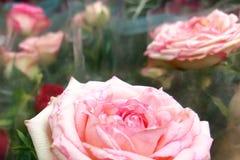 Il rosa è aumentato fiori nel mercato floreale fotografia stock