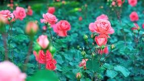 Il rosa è aumentato nel fiore di //-beautiful del giardino fotografie stock