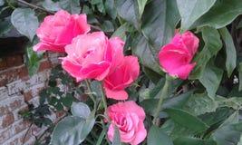 Il rosa è aumentato nelle armi della magnolia verde immagine stock libera da diritti
