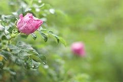 Il rosa è aumentato nelle gocce di pioggia su un fondo verde fotografie stock libere da diritti
