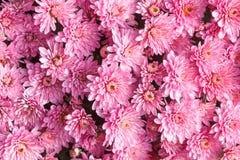 Il rosa astratto del crisantemo del fondo fiorisce la molla Immagine Stock Libera da Diritti