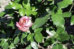 Il rosa ? aumentato fiore che fiorisce in un giardino in primavera, spazio luminoso della copia di luce solare fotografia stock