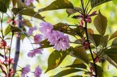 Il rosa del fiore di ciliegia della primavera fiorisce su fondo verde chiaro Fotografie Stock
