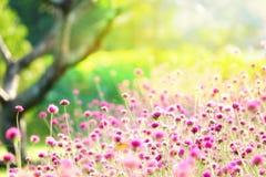 Il rosa del fuoco della sfuocatura di destra di LFair sistema l'estate verde variopinta della natura dell'albero dei campi dell'i Immagine Stock