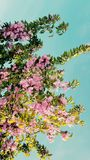 il rosa delicato fantastico fiorisce il bello fondo dell'estate Immagini Stock Libere da Diritti