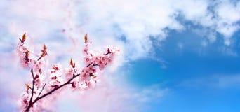 Il rosa della ciliegia sboccia fine del ramo su Ciliegio di fioritura Priorità bassa floreale della sorgente Posto per testo fotografia stock