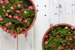 Il rosa della sassifraga di Sedum fiorisce il fondo di bianco del fiore Fotografia Stock Libera da Diritti