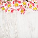 Il rosa fiorisce il Alstroemeria su fondo leggero Fotografie Stock Libere da Diritti