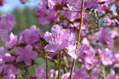 Il rosa fiorisce il cespuglio del rododendro Immagine Stock