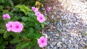 Il rosa fiorisce il crescione Fotografie Stock