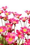 Il rosa fiorisce la sassifraga Fotografia Stock Libera da Diritti