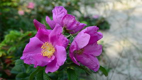 Il rosa fiorisce le anche che ondeggiano nel vento stock footage