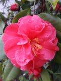 Il rosa fiorisce le gocce della natura dell'acqua di rose immagini stock