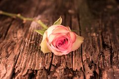 Il rosa ha glassato Rose On Antique Wood bianca fotografie stock