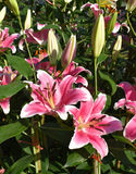 Il rosa lilly Fotografie Stock