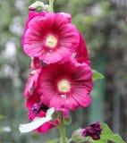 Il rosea del Alcea, la malvarosa comune, rosso ha fiorito Fotografia Stock Libera da Diritti