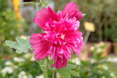 Il rosea rosa di hollyhockAlcea sta fiorendo fotografia stock libera da diritti